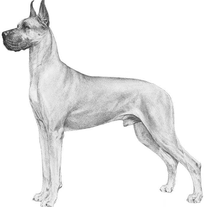 great-dane_4