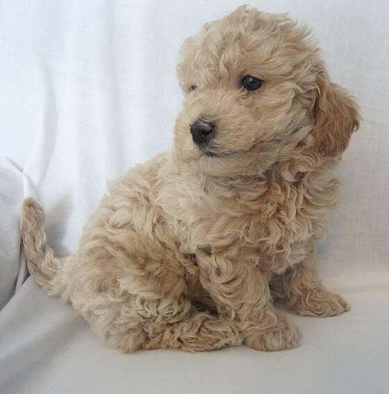 mini-goldendoodle-puppies_1