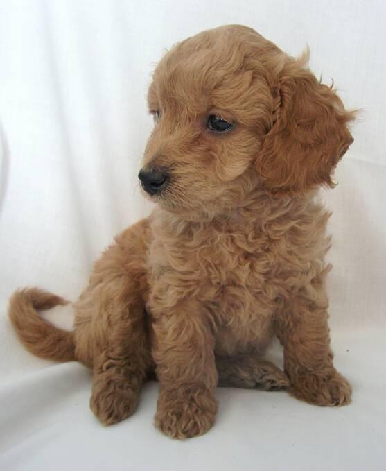 mini-goldendoodle-puppies_2