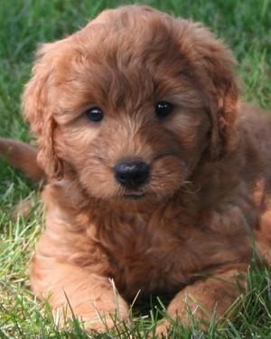mini-goldendoodle-puppies_3