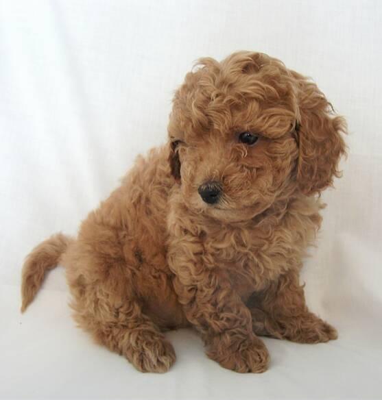 mini-goldendoodle-puppies_5