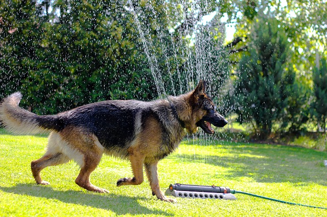 Feeding-German-Shepherd