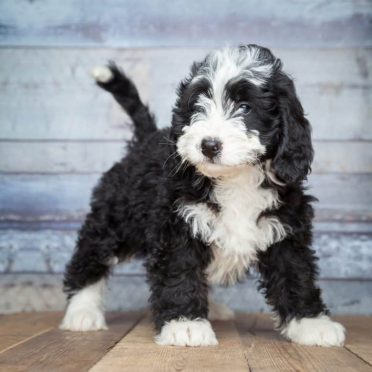 Bernedoodle also known as Bernese mountain dog Poodle Mix