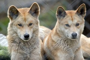 two golden dingo are resting together