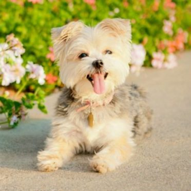 Morkie also known as Maltese Yorkie Mix or Morkshire Terrier
