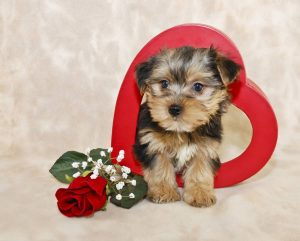 Little Morkie puppy stepping out of a heart with a single red rose.