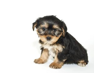 Morkie puppy that looks like he is sorry or sad about something, on a whiye background.