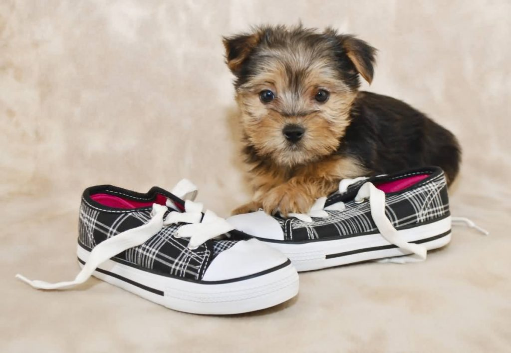 7 Things You Need to Know About the Morkie (Maltese Yorkie