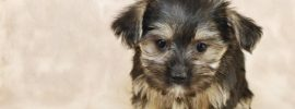 7 Things You Need to Know About the Morkie (Maltese Yorkie mix)