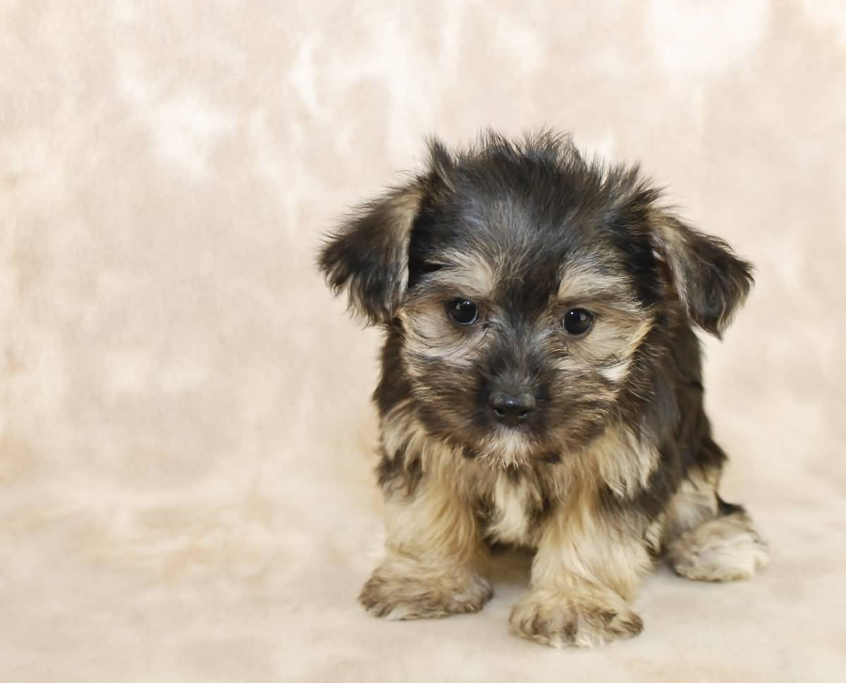 7 Things You Need To Know About The Morkie Maltese Yorkie Mix
