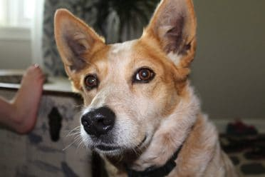 Red Heeler also known as the Australian Cattle Dog