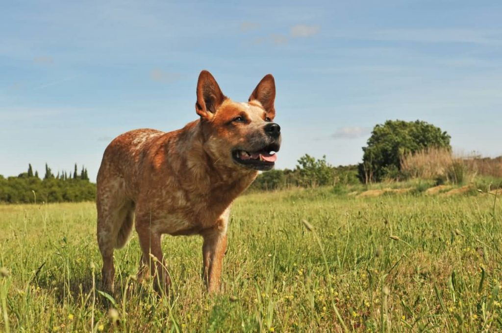 red australian cattle dog upright in a field