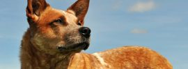 Get To Know the Red Heeler in 7 Questions!