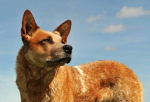 red australian cattle dog upright in a blue sky