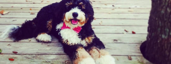 Meet The Loveable Bernedoodle (Bernese Mountain dog & Poodle mix)!
