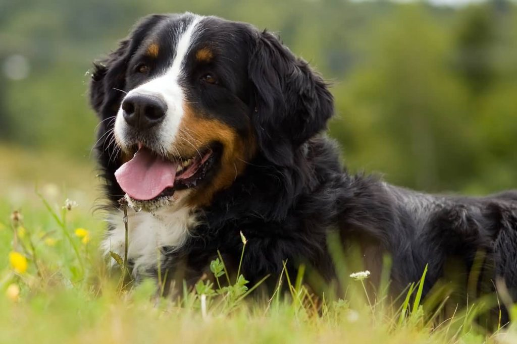 Dog Bernese Mountain Dog is on the grass