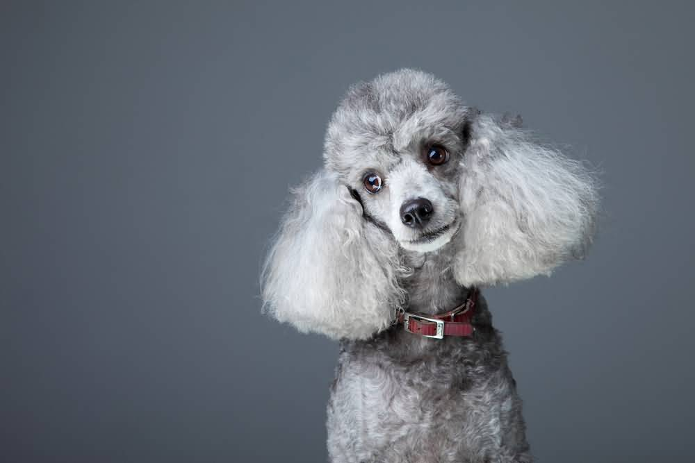 Close-up portrait of obedient small gray poodle with red leather collar on grey background