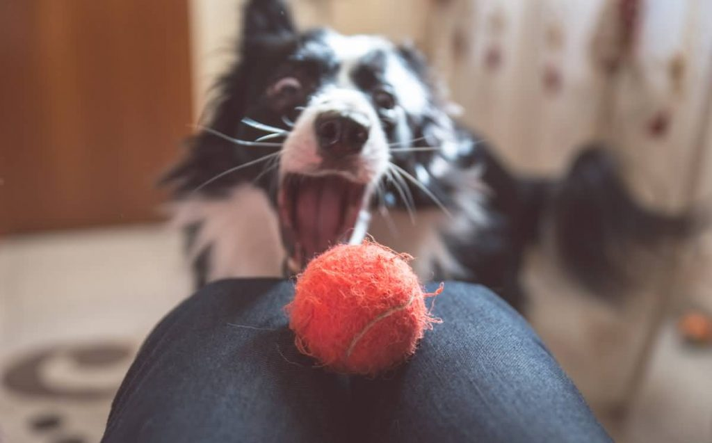 Border-Collie-plays