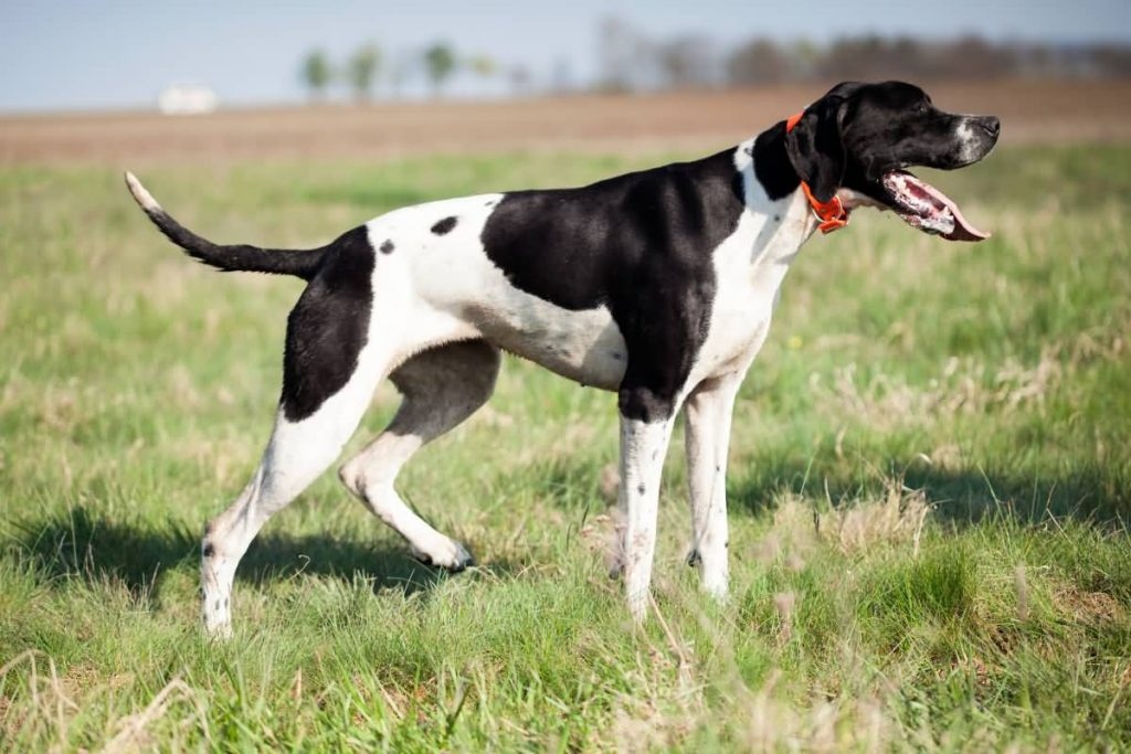 English Pointer standing on the green grass