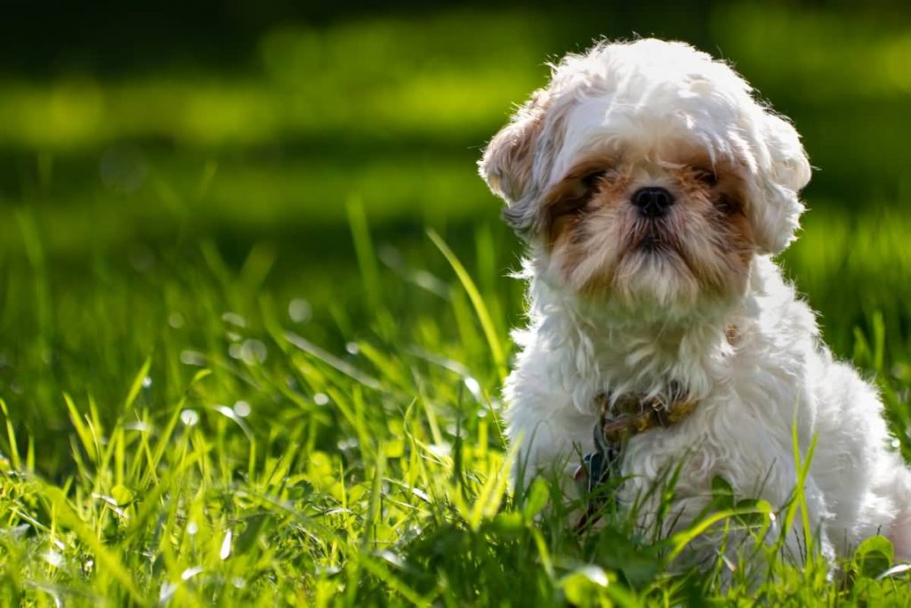 Shih Tzu sitting in grass with plenty of room on left side to place text or design elements.