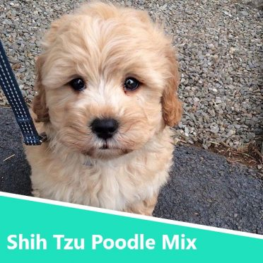 Shih Tzu Poodle mix also known as Shih-poo or Shoodle