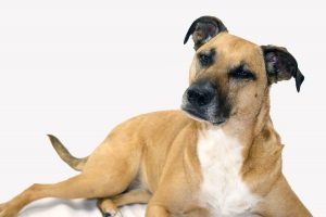 black-mouth-cur-pixb
