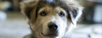 golden-retriever-husky-mix-4