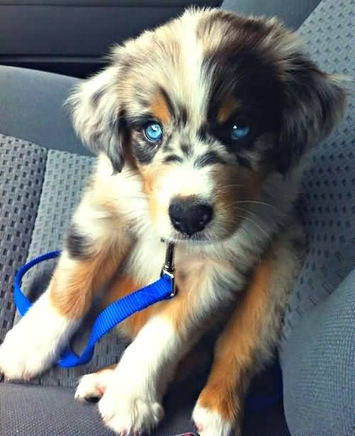 9 facts about the golden retriever husky mix aka goberian animalso