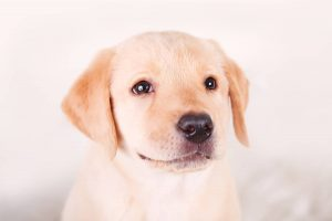 Cute yellow labrador beagle mix puppy on white