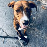 Meet America's Dog – The Mountain Cur