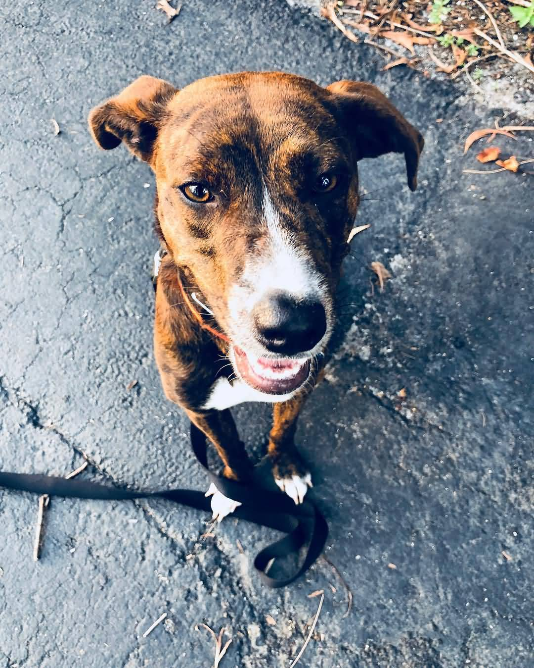 Meet America S Dog The Mountain Cur Animalso
