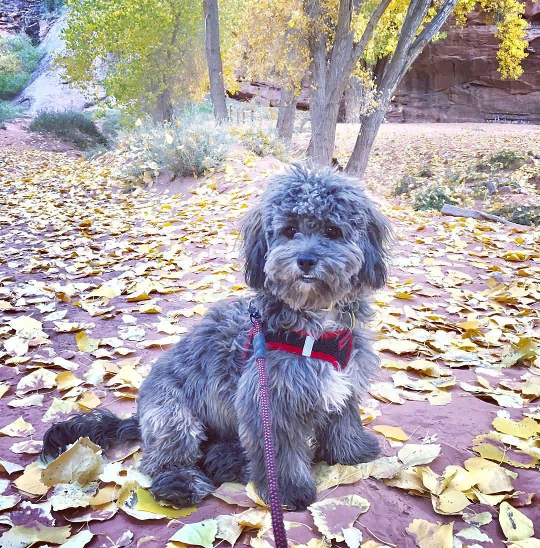 Shih Poo Complete Guide On Shih Tzu And Poodle Mix Animalso
