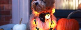 Shih Poo: Complete Guide on Shih Tzu and Poodle mix!