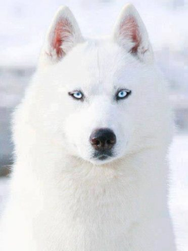 White Siberian Husky,also known as Isabella Husky