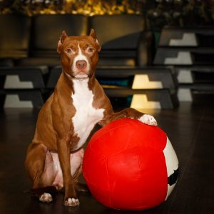 Red Nose American Pit Bull Terrier with big ball