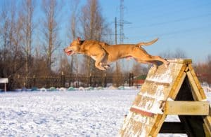 Dog breed American Pit Bull Terrier jumps over an obstacle
