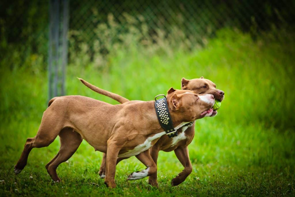 Two red nose pitbulls playing in the park
