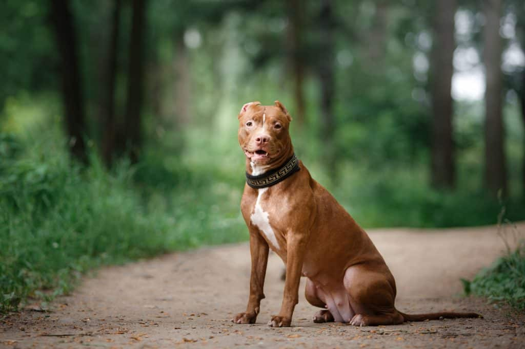 pit bull terrier dog in the park, red pet on the grass
