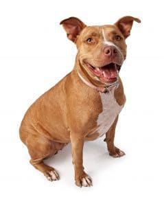 Friendly Red Nose Pit bull dog isolated on white