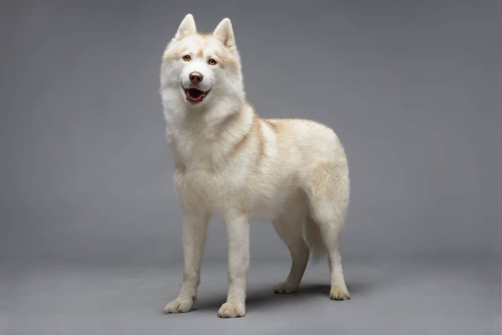 Portrait of white siberian husky on gray background