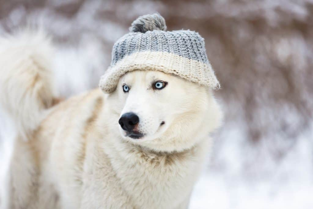 White husky wearing a hat in winter