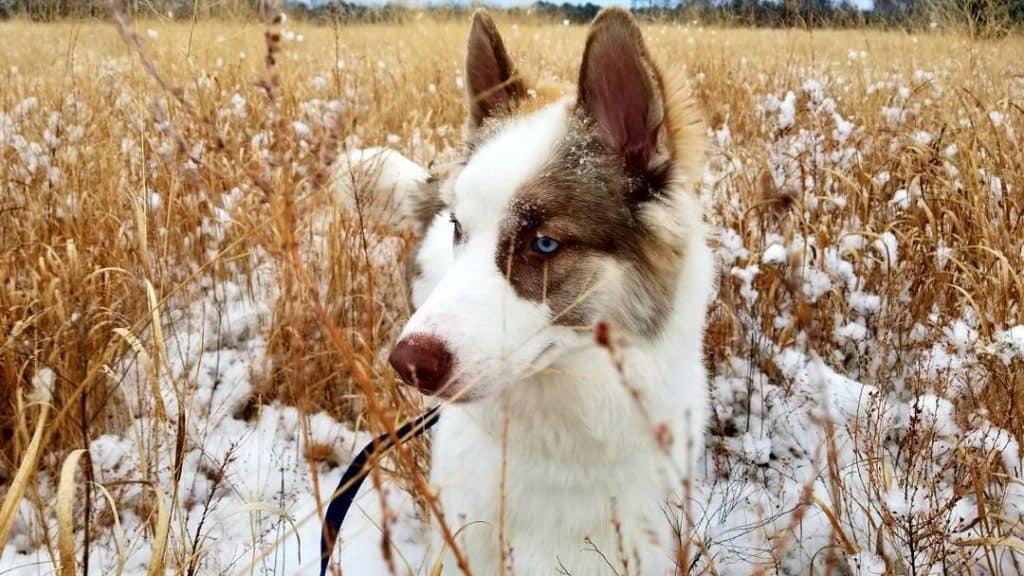Siberian Indian Dog