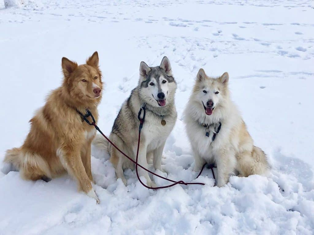 different coat colors of native american indian dog