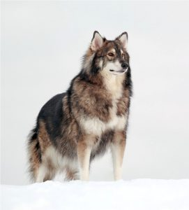 Americab Alsatian in the snow