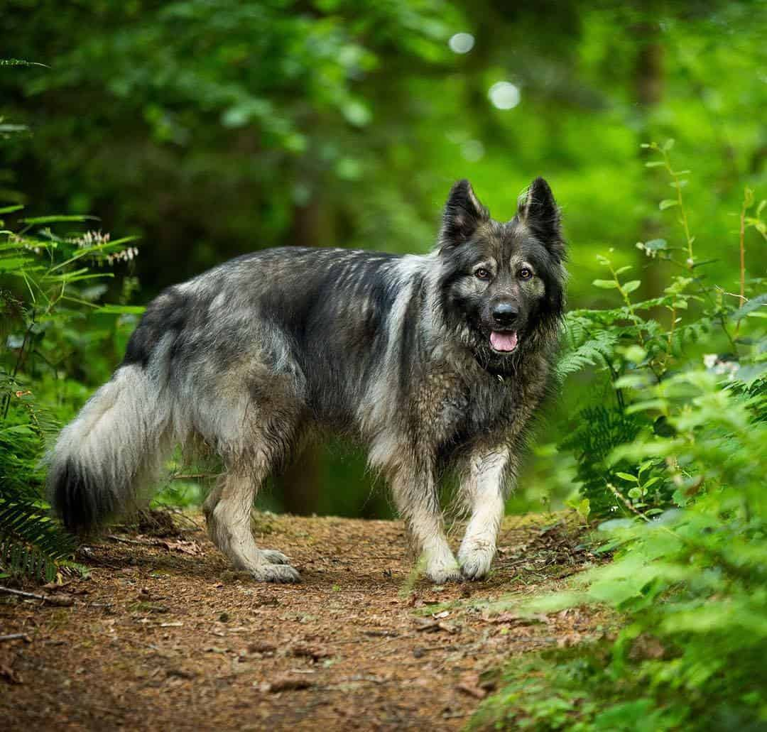 The American Alsatian: The Ultimate Guide To The Breed - Animalso