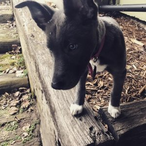 Dutch Shepherd Border Collie Mix