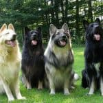 different colors of Shiloh Shepherd