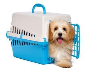 Cute happy reddish havanese puppy dog is inside a blue and gray plastic pet crate and step out