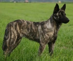 Dutch Shepherd outside on a grass