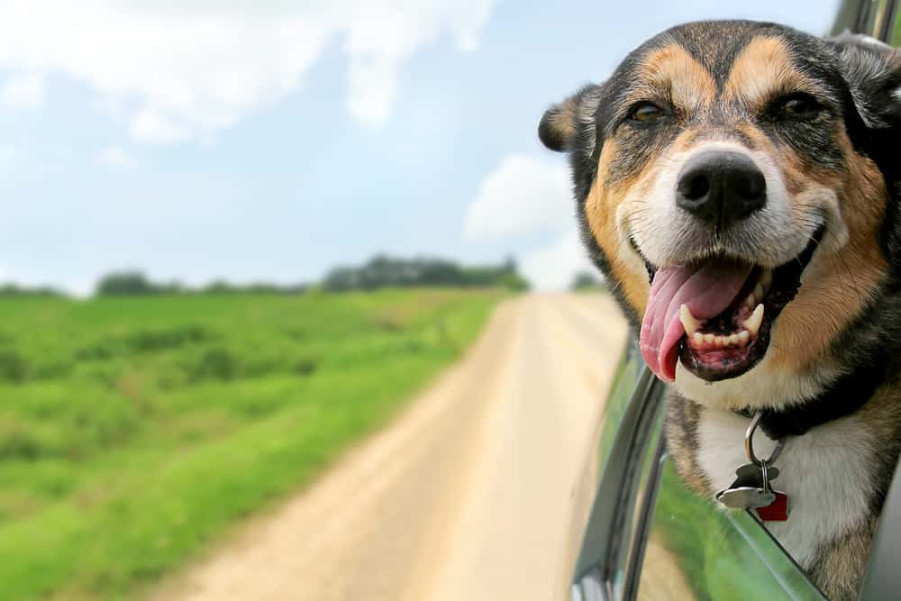 A happy German Shepherd Mix breed dog is hanging is tounge out of his mouth with his ears blowing in the wind as he sticks his head out a moving and drving car window.